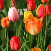 Tulip Gardens 2008 002
