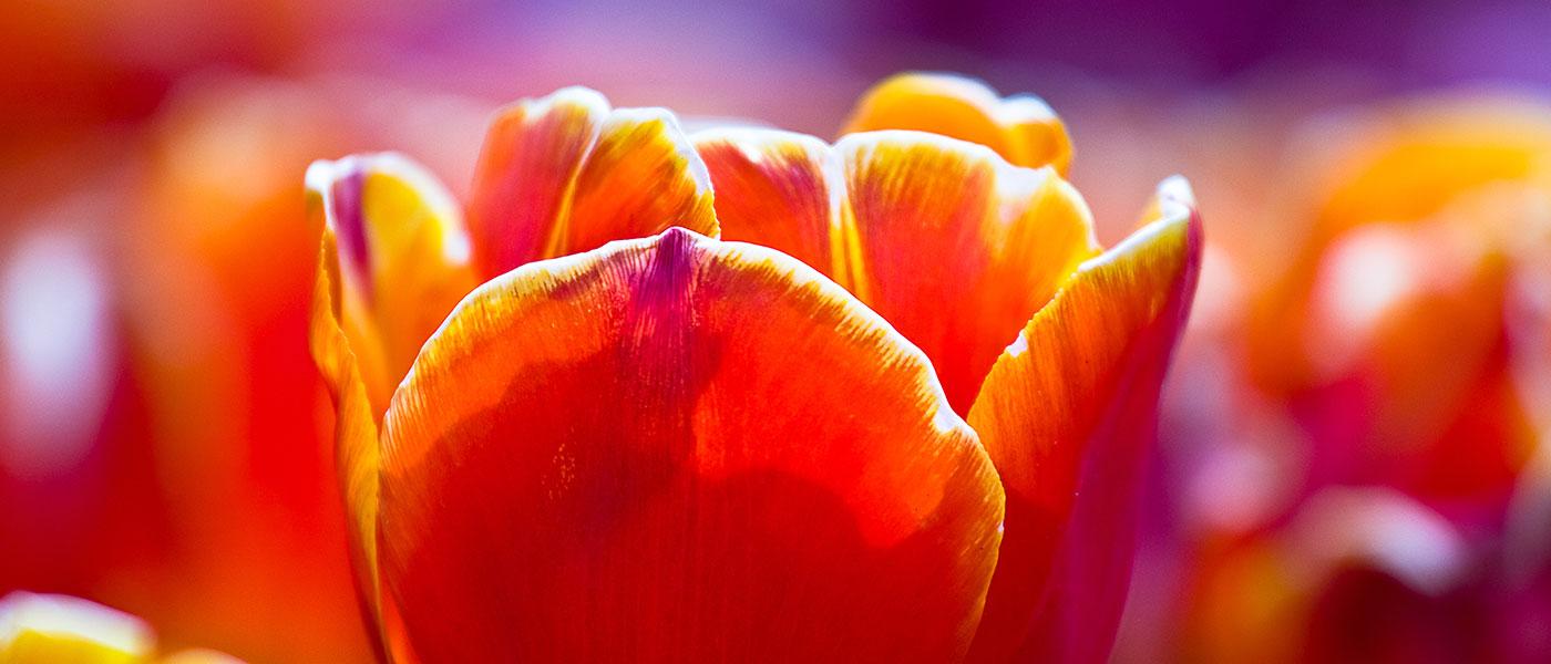slide-tulipfestival3